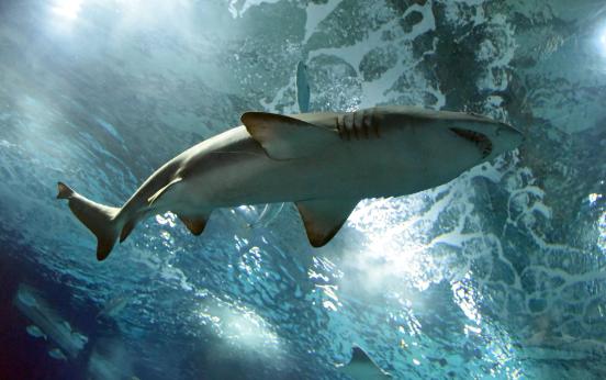 AquaRio realiza a quarta edição da Shark Week